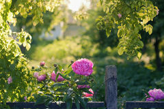 Peony flowers summer garden fence backlight Royalty Free Stock Photography