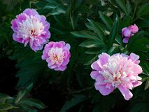 Peony flowers in summer park royalty free stock photography