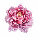 Peony. Flowers.peony.watercolor.This image can be used for postcards invitations flyers royalty free illustration