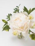 Peony flowers on white background closeup Stock Photo