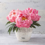 Peony flowers Royalty Free Stock Photos