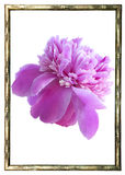 Peony in frame Stock Photos