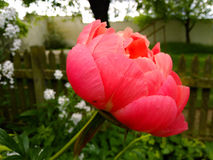 Peony in front of the fence Stock Photography