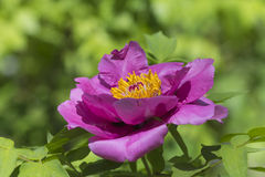 Peony in full bloom Stock Photos