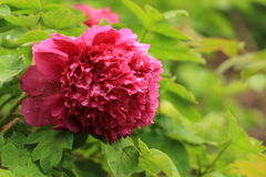 Peony In full bloom Stock Photo