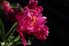 Peony. A full-blown pink peony in the garden Stock Photography