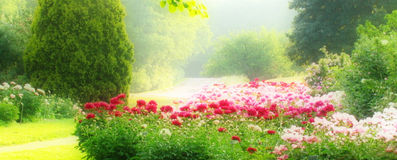Peony Garden. In Franklin, WI Stock Photo