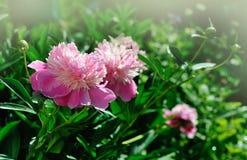 Peony in garden Stock Images