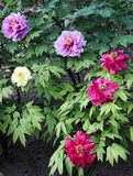 Peony garden Royalty Free Stock Photo