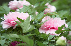 Peony garden Stock Photo