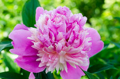 Peony in a garden Stock Image