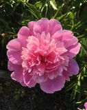 Peony in the garden early in the morning royalty free stock image