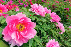 Peony Garden. The peony flowres are blooming in spring garden royalty free stock image