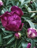 Peony in the garden green purple color nature leaf beauty flowers shadow macro summer shadow rainy day outdoors no people. Garden flower nature beauty in nature Royalty Free Stock Photography