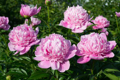 Peony garden. Large blooms of three peony in a garden Stock Image