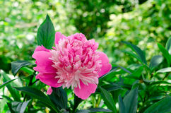 Peony in a garden Royalty Free Stock Photography