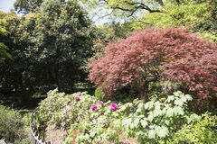 Peony garden Stock Photography