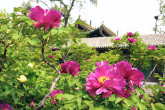 Peony garden Royalty Free Stock Photography