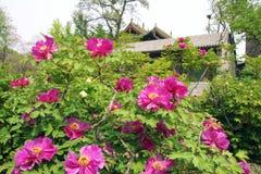 Peony garden Stock Images