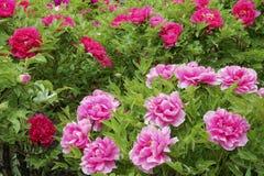 Peony garden. The spring scenry of peony garden stock photos