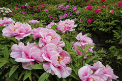 Peony garden. The spring scenry of peony garden Stock Photography