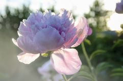 Peony in the garden in the sunset Stock Images