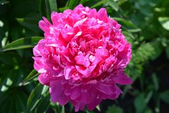Peony in the Garden. There is a Peony in the Garden Stock Images