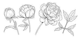 Peony gr. Black and white ink illustration of a peony flowers royalty free illustration
