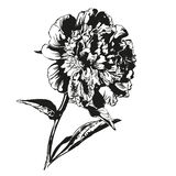 Peony hand drawn vector llustration Stock Photo
