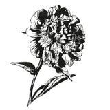Peony hand drawn vector llustration Stock Photo