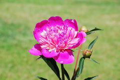 Peony hot pink Paeonia Stock Images