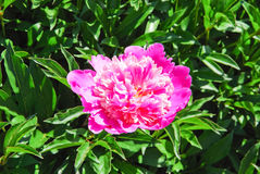 Peony hot pink Paeonia Royalty Free Stock Photo