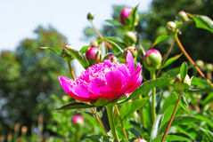 Peony hot pink Paeonia Royalty Free Stock Images