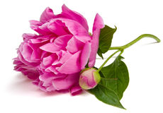 Peony Isolated Stock Image