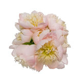 Peony isolated Stock Photography