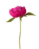 Peony isolated on white background. Focus on center of flower Stock Photography