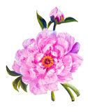 Peony isolated on white, oil painting Royalty Free Stock Images