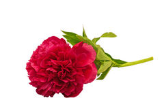 Peony isolated on white Royalty Free Stock Photos