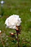 Peony lactiflora flower Royalty Free Stock Image