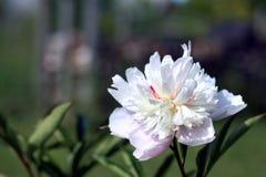 Peony lactiflora flower Stock Images