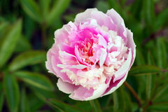 Peony lactiflora flower Stock Photography