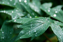 Peony leaves in rain Stock Images