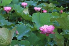 Peony Lotus flowers and buds Stock Image