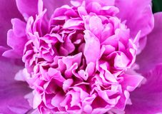 Peony macro Pink flower. Delicate color blurry texture. Peony macro. Pink flower. Delicate color, blurry texture Stock Image
