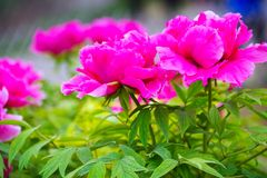 Pink peony , chinese national flower. Peony is national flower of China, symbols of wealth and prosperity royalty free stock photo