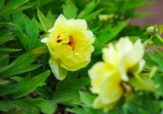 Yellow peony , chinese national flower. Peony is national flower of China, symbols of wealth and prosperity royalty free stock photography