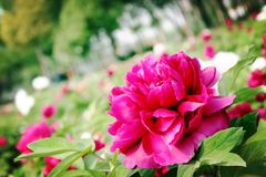 Peony. Is native to the mountainous area of Qinling Mountains and Dabashan in the west of China. There are wild Single Leaf Varieties in this area. Deciduous royalty free stock images