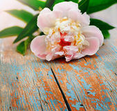 Pink peony on old wooden background Royalty Free Stock Images