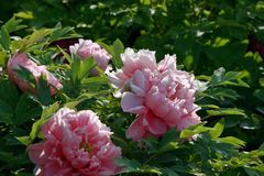 Peony. Ornamental peony is a perennial deciduous shrub. & x22;Its cultivation began in the Sui Dynasty, flourishing in the Tang Dynasty and in the Song Dynasty royalty free stock image