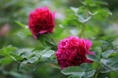 "Peony. Ornamental peony is a perennial deciduous shrub. ""Its cultivation began in the Sui Dynasty, flourishing in the Tang Dynasty and in the Song Dynasty royalty free stock photo"